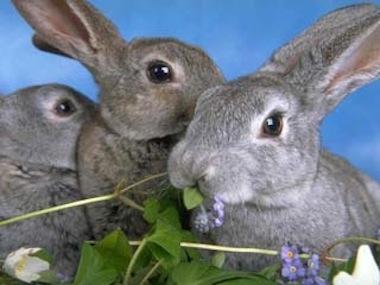 La Alimentacion del conejo 2  La Alimentación del Conejo