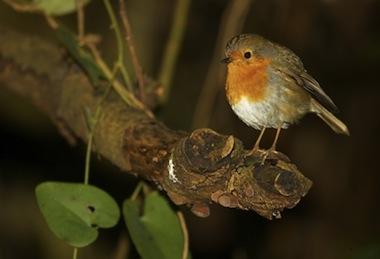 La obesidad en las aves
