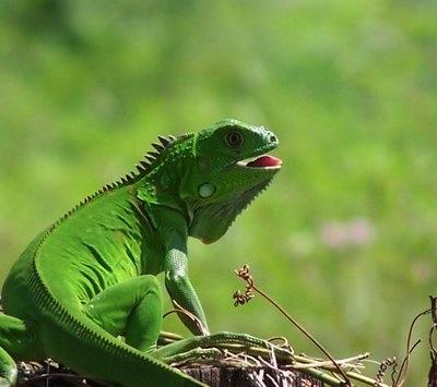 Las Vitaminas y calcio en las iguanas