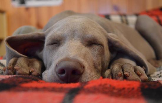 ¿Los Perros por qué duermen tanto?