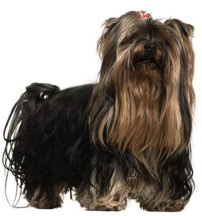 los cuidados del Yorkshire Terrier