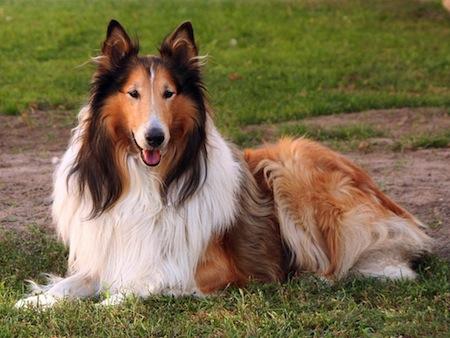 Perro de raza Collie de pelo largo