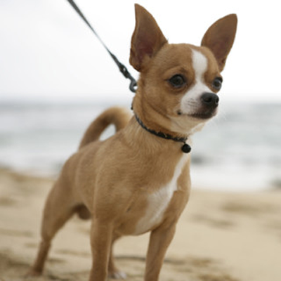 Por qué es popular el Chihuahua