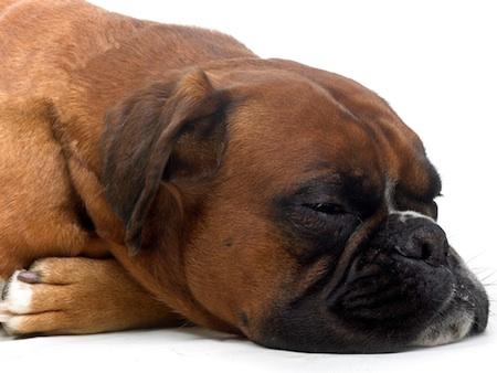 Problemas de estomago en Perros 1 Problemas de estómago en Perros
