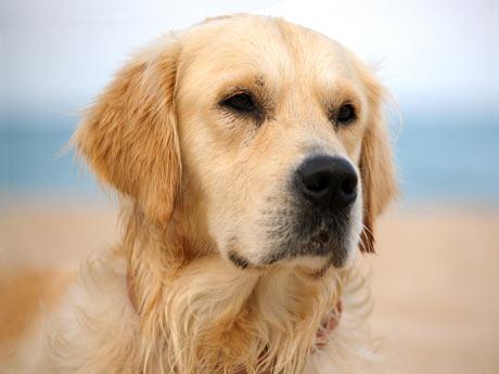 Problemas de salud en el Labrador  Problemas de salud en el Labrador