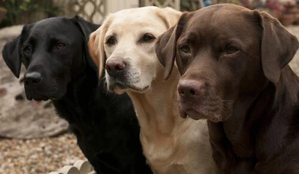 Entre las Ventajas de tener un Labrador podemos decir que es una raza inteligente y de alta nobleza
