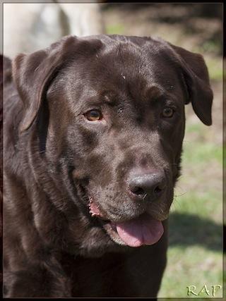 Ventajas y desventajas de tener un Labrador