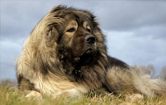 Características del Perro Pastor del Cáucaso