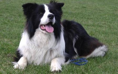 Características del perro de raza Border Collie