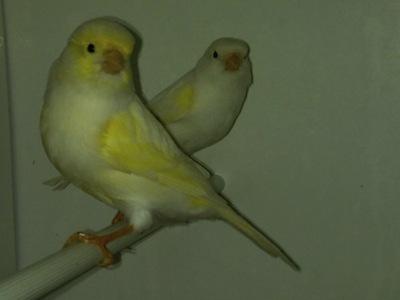 Cómo saber su sexo de los canarios