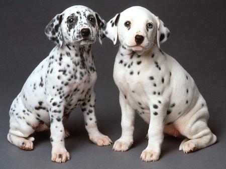 Cuidados a tener con el Perro Dalmata  Cuidados a tener con el Perro Dálmata
