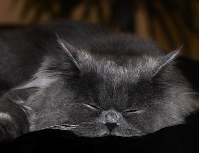 Cuidados de gatos Adultos