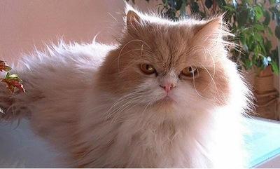 Cuidados del pelo del Gato