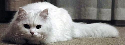Higiene y cuidado del gato Angora Turco