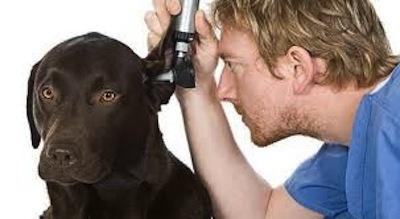 Infecciones de oído en perros