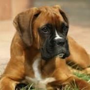 La educación del perro Bóxer