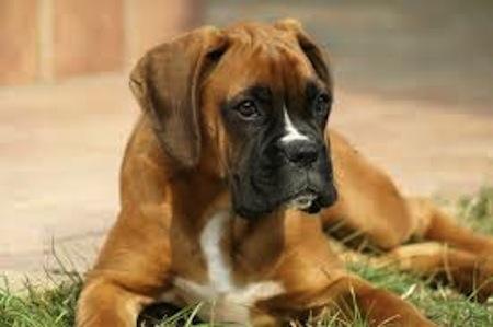 La educacion del perro Boxer