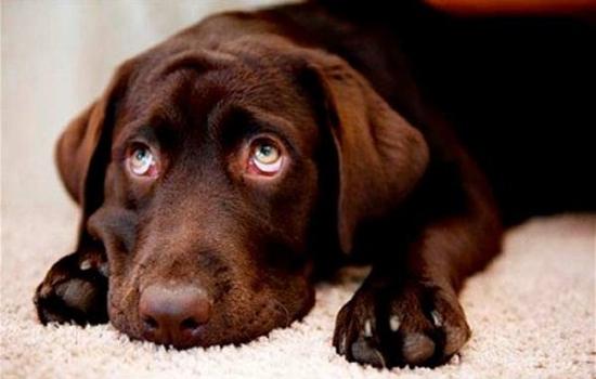 Problemas en el estómago de los Perros