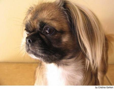 Salud del Perro de raza Pekines  Salud del Perro de raza Pekinés