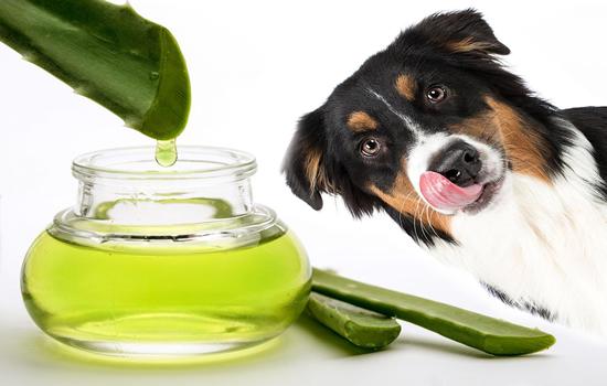 Beneficios del áloe vera en los perros