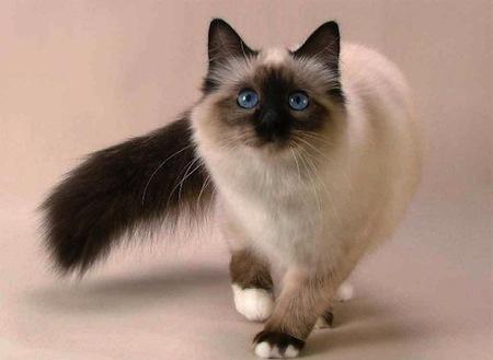 Cuidados de un Gato Siamés