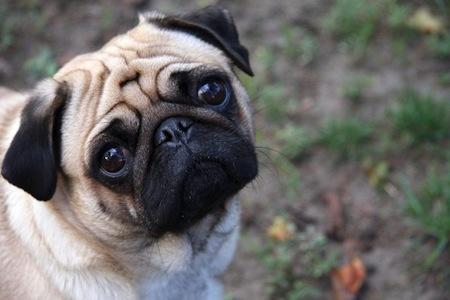 Cuidados del Perro Carlino