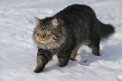 El Gato Aleman de pelo largo
