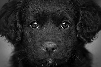 La queratoconjuntivitis en los Perros