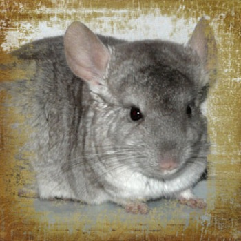 Las Chinchillas y su pelaje