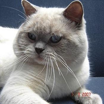 Los gatos Siamés y su carácter
