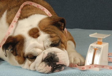 Perros con sobrepeso alimentación