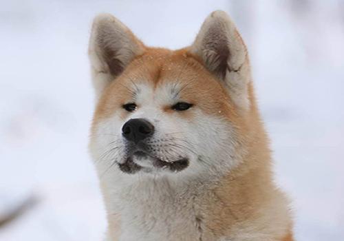 Razas de Perros Japoneses