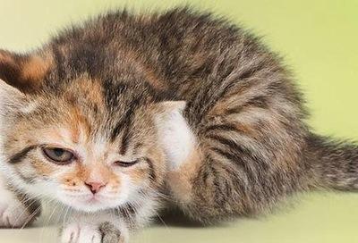 Acaros en los Gatos  Acaros en los Gatos