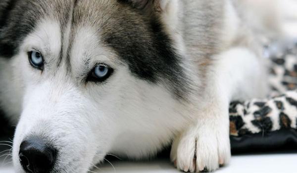Como cuidar a un perro Husky