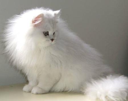 Cuidados del pelaje del Gato Chinchilla