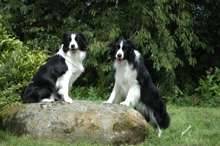 Cuidados especiales del Border Collie