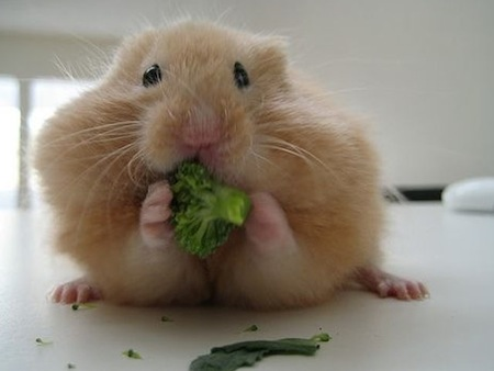 Cuidados que requiere un Hamster