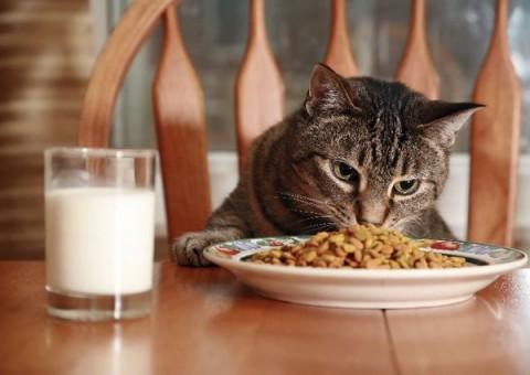 Los gatos y su plan de alimentacion Los gatos y su plan de alimentación