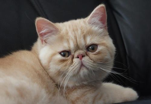 Comportamiento del Gato Exótico