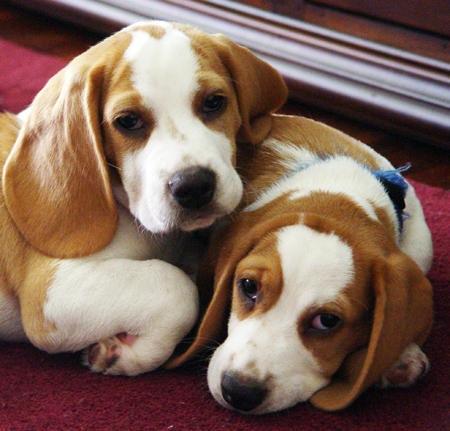 Cuidados del Perro Beagle
