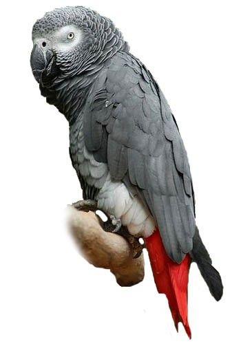 Cuidados del loro gris africano o yaco