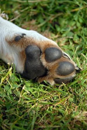 Enfermedades de las patas y dedos de los Perros