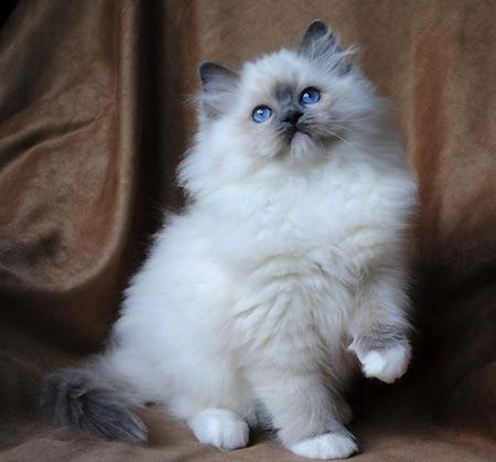 Las razas de Gatos mas cariñosas