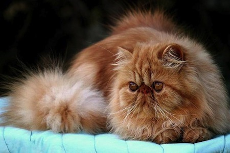 Las razas de Gatos mas Bonitas