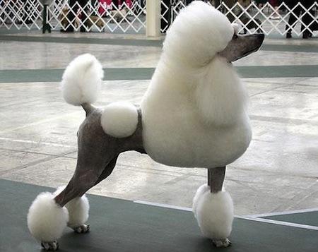 Los peinados para perros1 Los peinados para perros