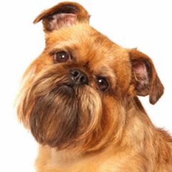 Raza de perro Grifón Belga