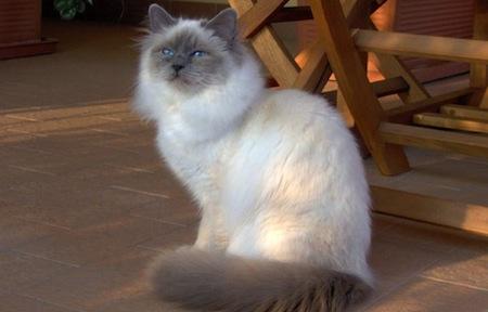 Razas de gatos Blanco y Negro