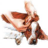 Infecciones de oído en Perros y Gatos