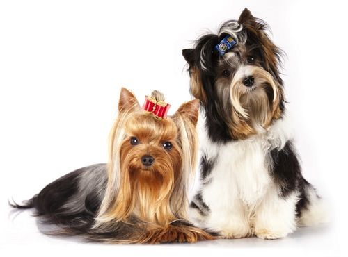 Razas de Perros Silky Terrier