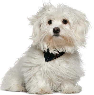 Salud del perro de raza Bichón Frisé